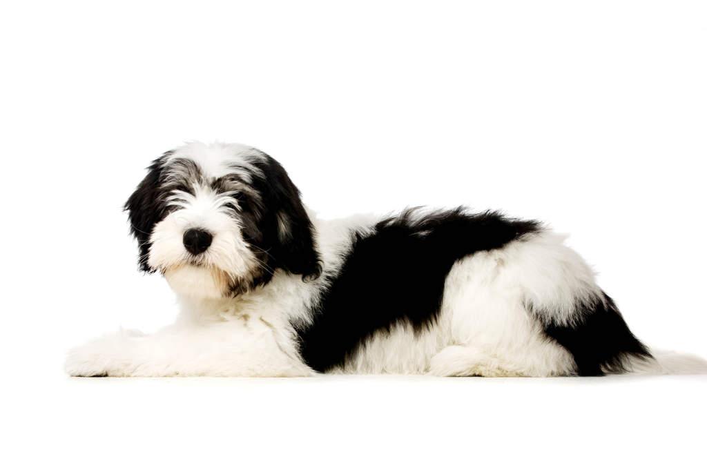 poolse laaglandherder | honden | rasinformatie | omlet