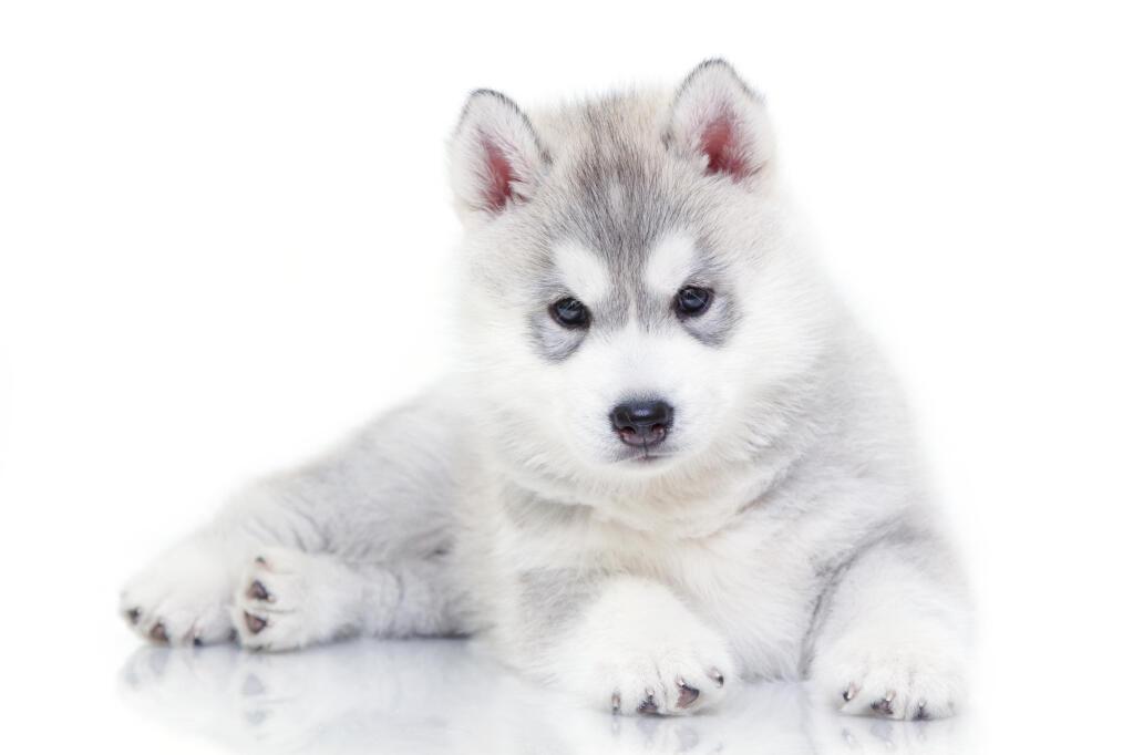 Siberische Husky Honden Rasinformatie Omlet