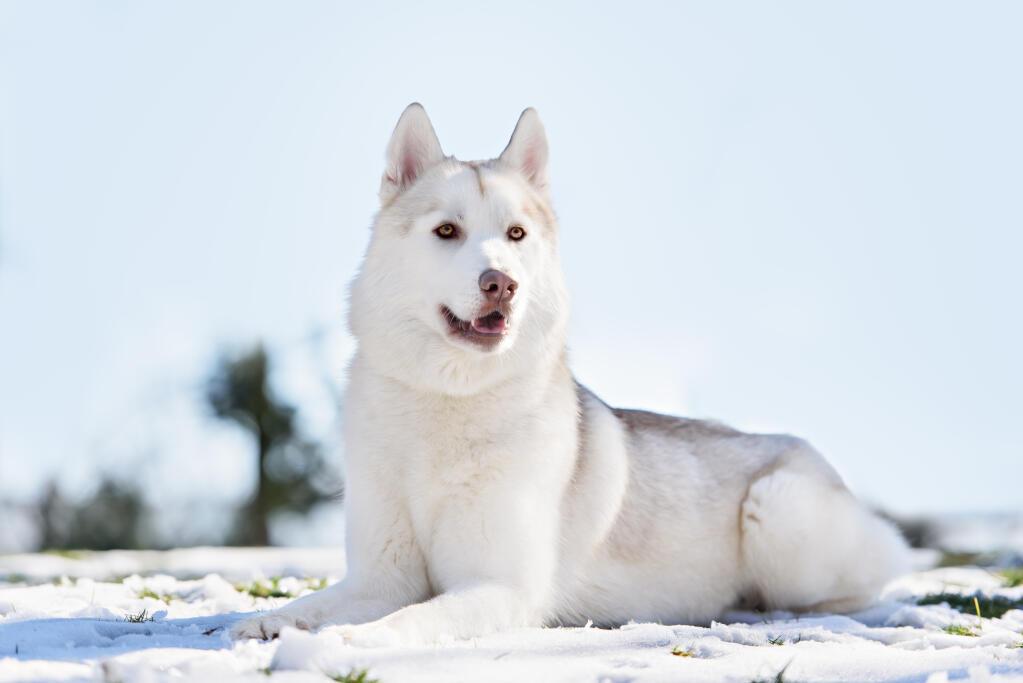 Image Result For Adult Siberian Husky