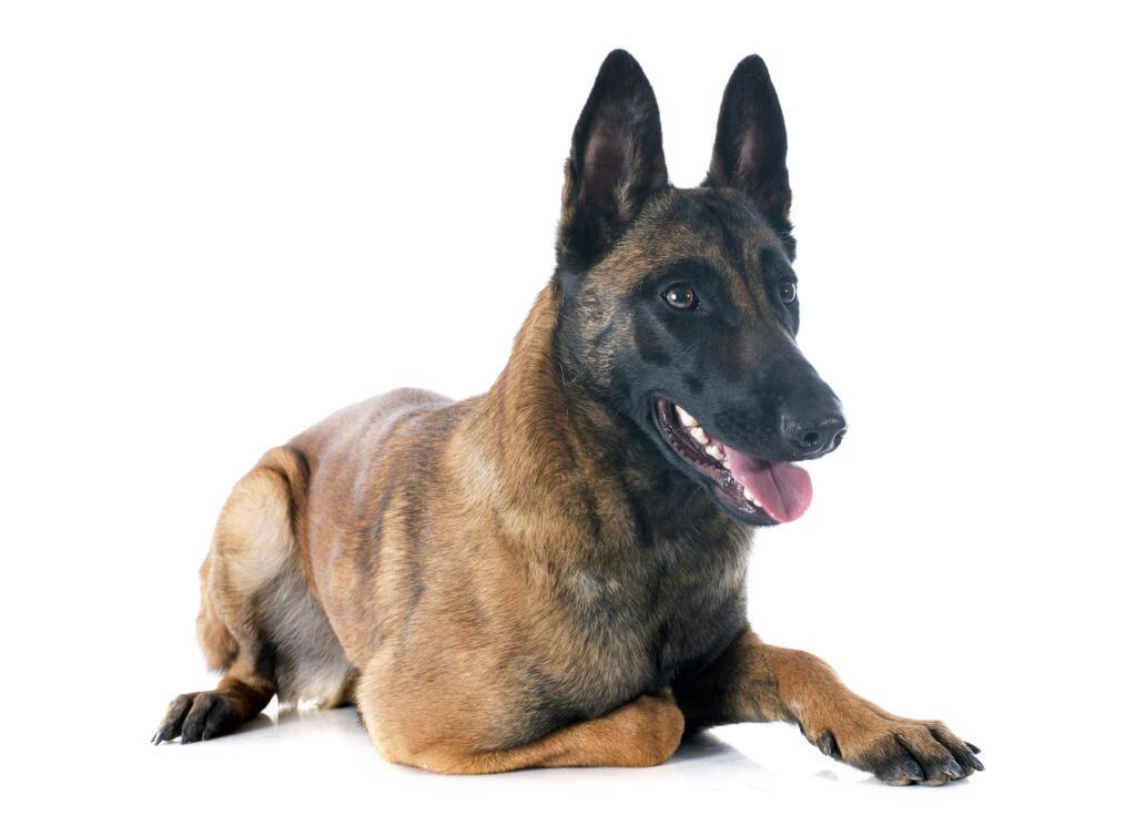 Mechelse Herder Honden Rasinformatie Omlet