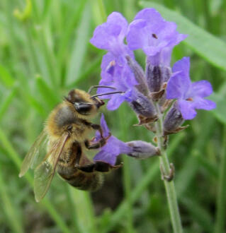 Honeybee on Lavender