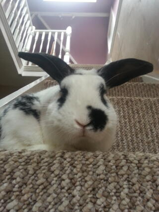 Guiness my 2 year old lop! :-)