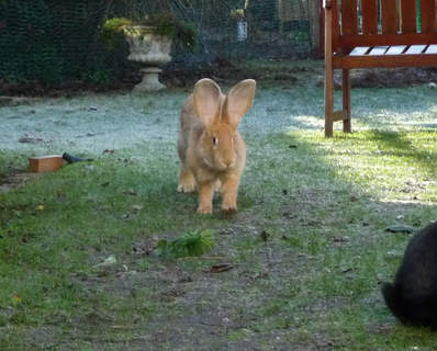 """lion"" bunny Mr Muffin in the frost"