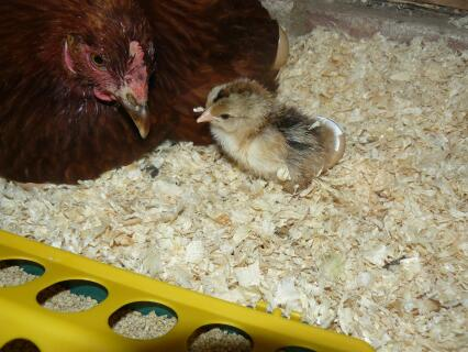 newly hatched gold brahma chick with columbian blacktail foster mum