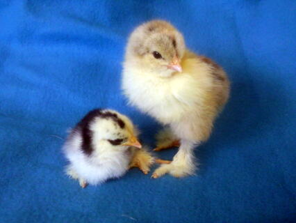 Brahma and Pekin Chicks