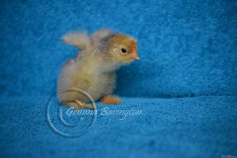 Blue Brahma female chick