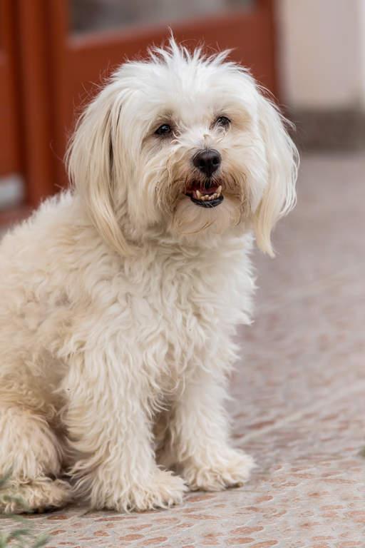 Maltezer Honden Rasinformatie Omlet