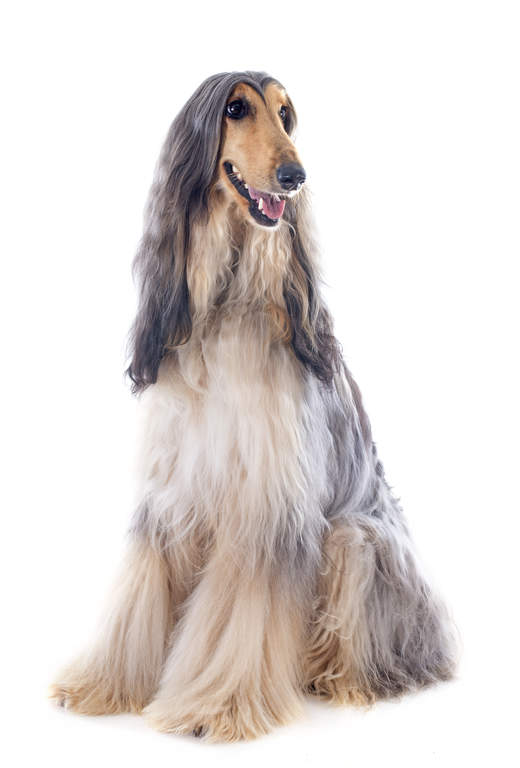 Afghaanse Windhond Honden Rasinformatie Omlet