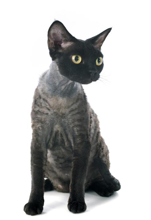 Devon Rex Katten Rasinformatie Omlet