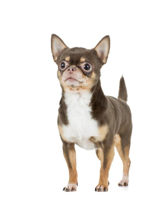 chihuahua honden rasinformatie omlet