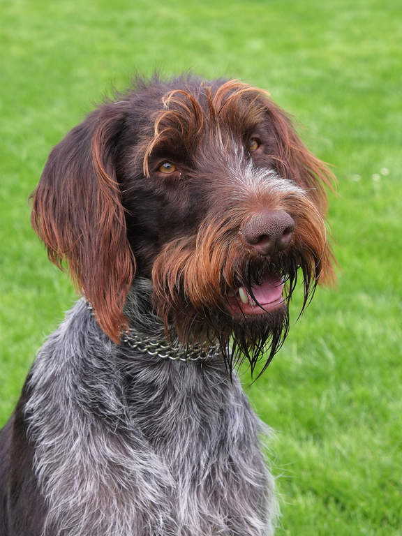 korthals griffon honden rasinformatie omlet