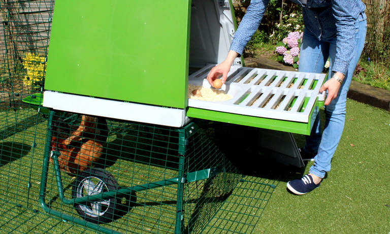 Eglu Go UP Chicken Coop with 2m run and chickens - collecting eggs from the nesting box