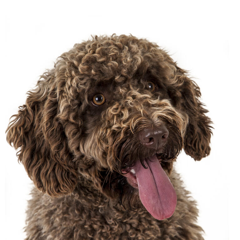 spaanse waterhond | honden | rasinformatie | omlet