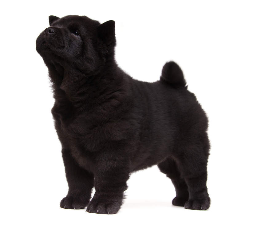 Chowchow Honden Rasinformatie Omlet