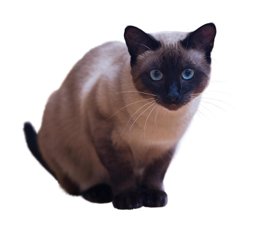Blue Point Siamese Cat Club