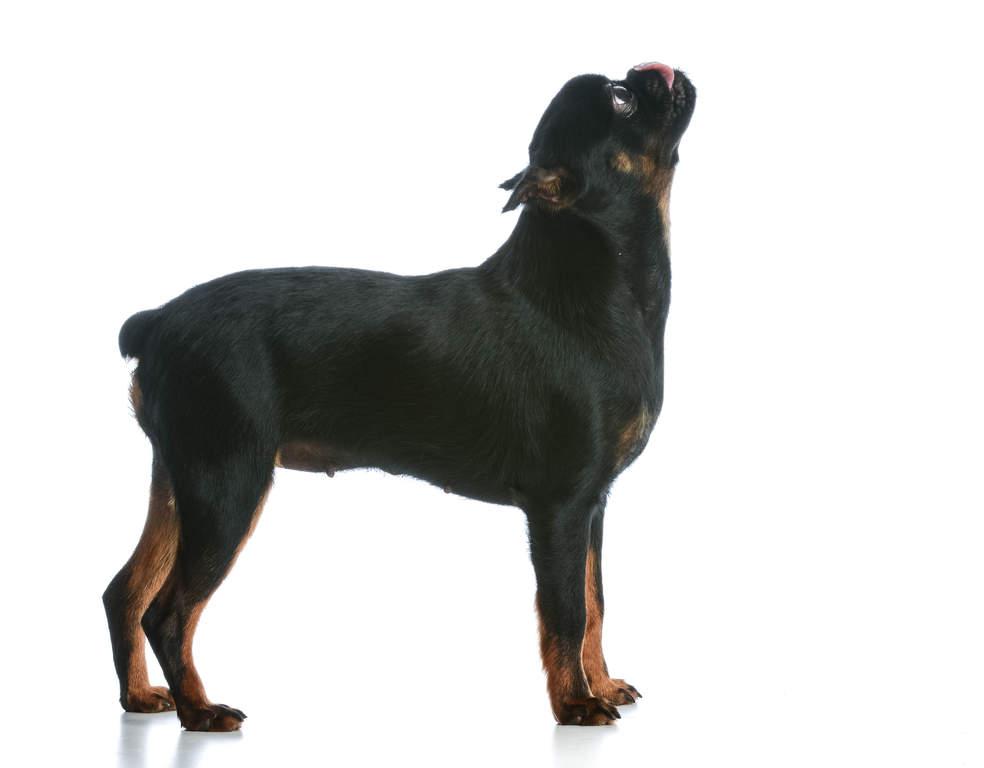 Griffon Bruxellois Honden Rasinformatie Omlet
