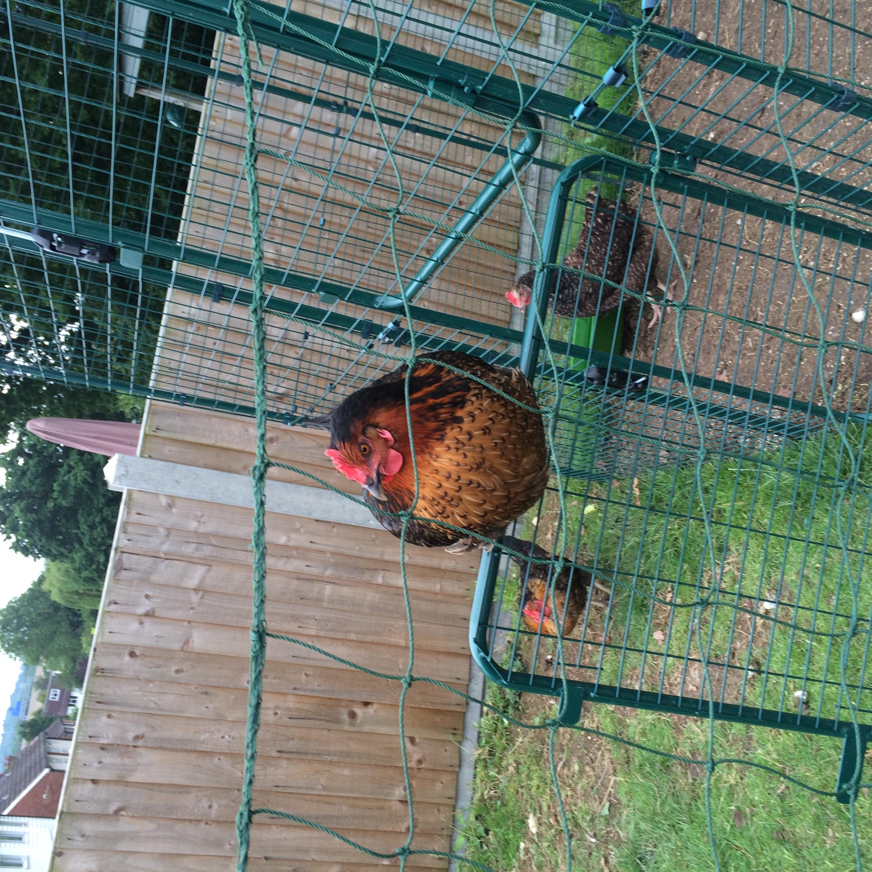 Reviews for inloopren voor kippen kippen houden omlet - Ondersteuning fer smeden ...